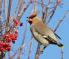 Waxwing 2 Milner St Warrington 081210 Jjc 600